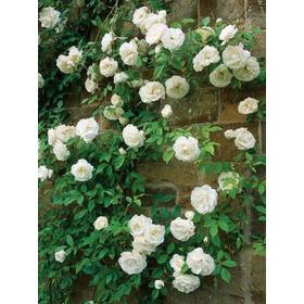 Planta De Rosa Trepadora Blanca (autentica) Rositas Enredade