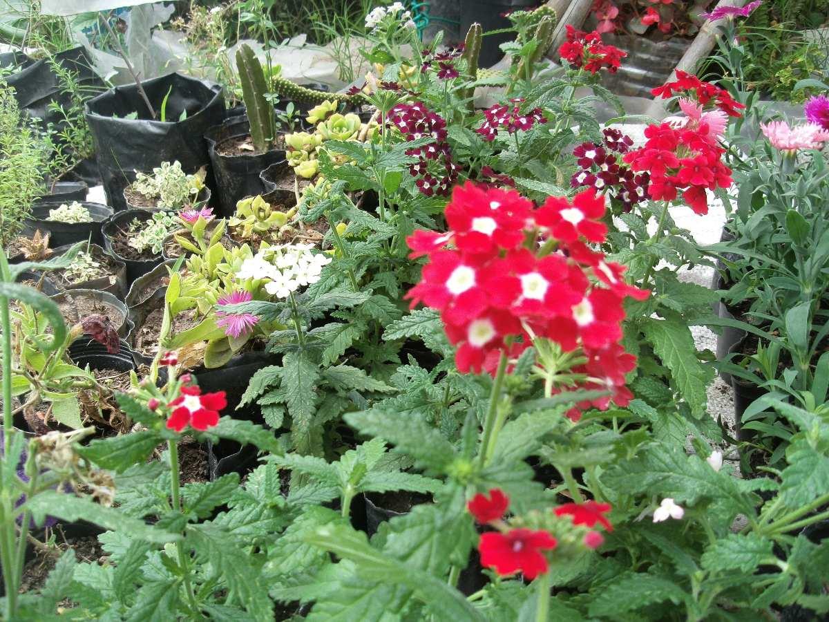 Planta de verbena de todo el a o 150 00 en mercado libre for Plantas de todo el ano