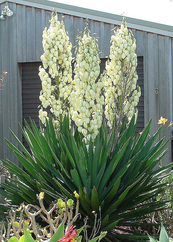 Planta de yuca en envase 100 00 en mercado libre for Yuca planta de exterior
