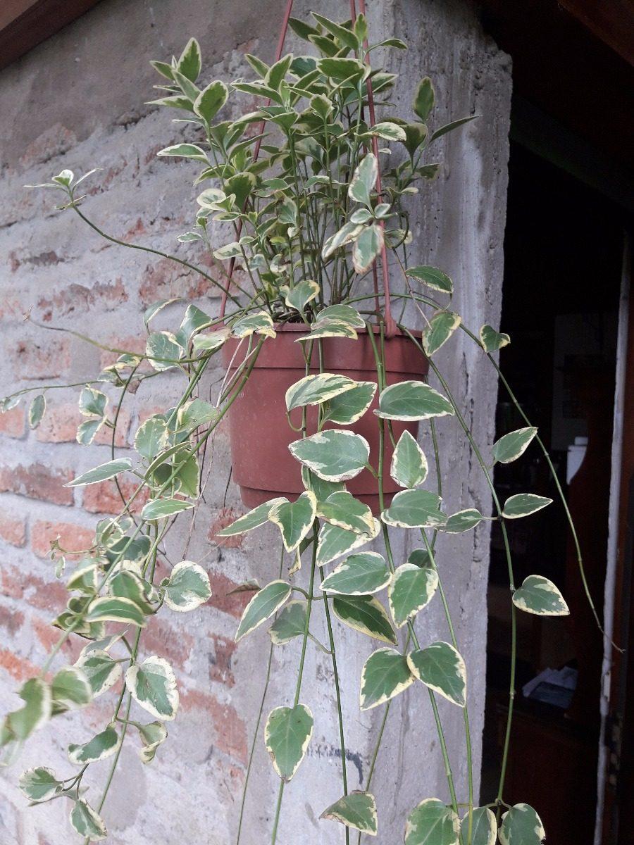 planta en mac colgante grande para exterior plantas colgantes exterior - Plantas Colgantes Exterior