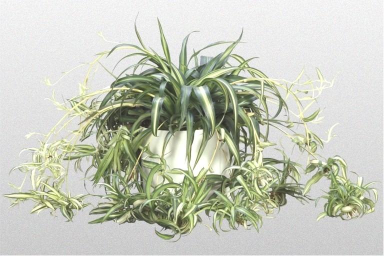 Planta en maceta cinta o lazo de amor colgante de interior - Plantar en maceta ...