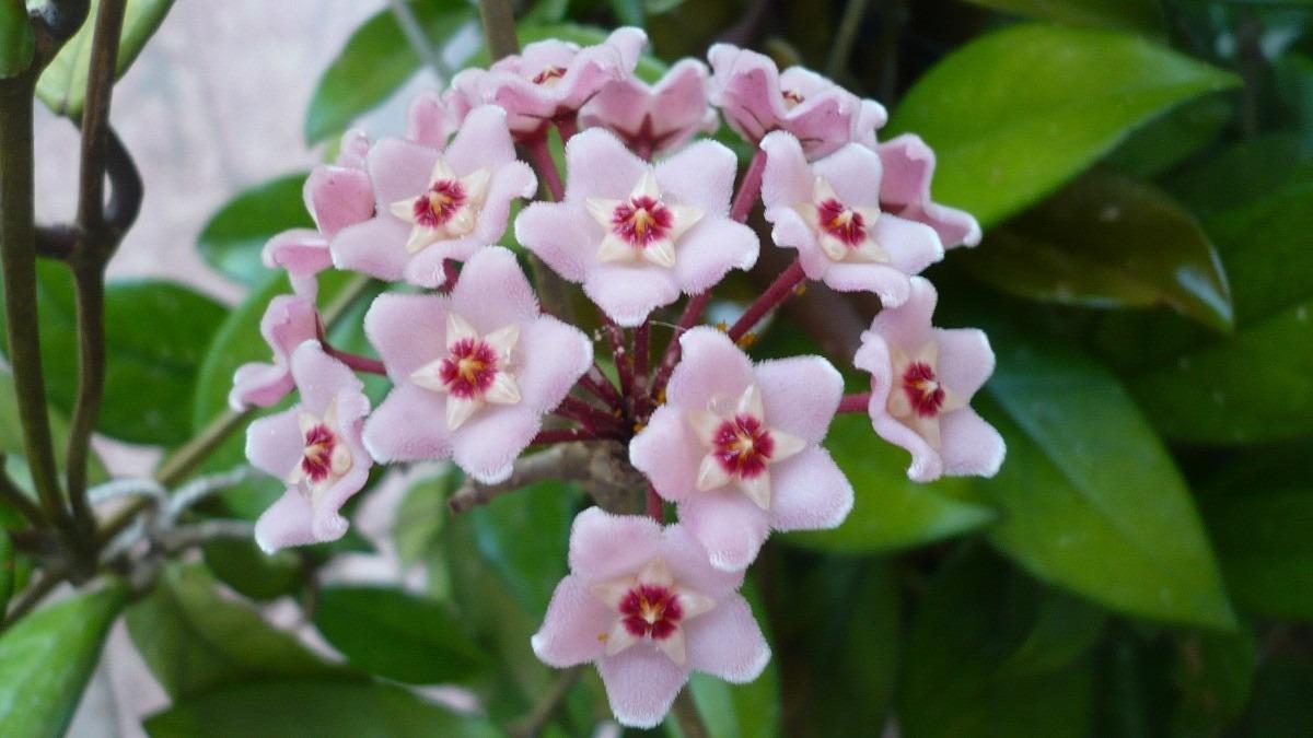 Planta ex tica hoya carnosa flor de cera flor - Plantas con flor de interior ...