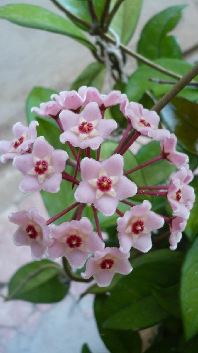 Planta ex tica hoya carnosa flor de cera flor for Tipos de plantas para macetas