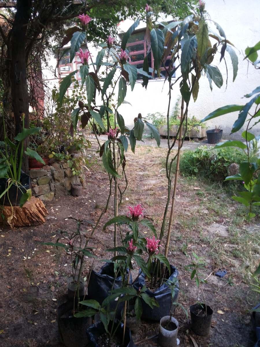 Planta Garra De Tigre O Justicia Carnea Muy Original