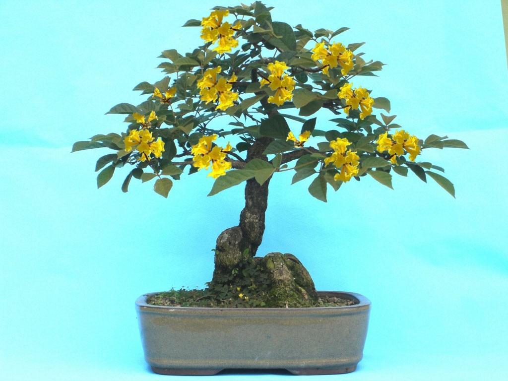 Planta guayac n amarillo germinada para bons i u for Bonsai vendo