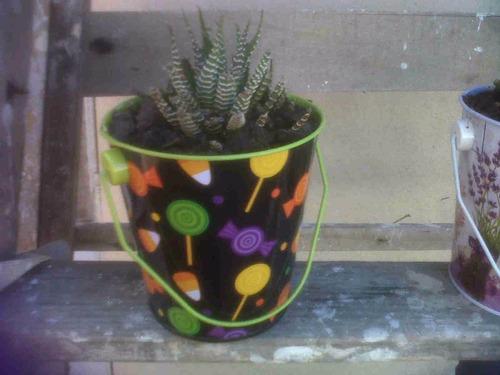 planta haworthia fasciata