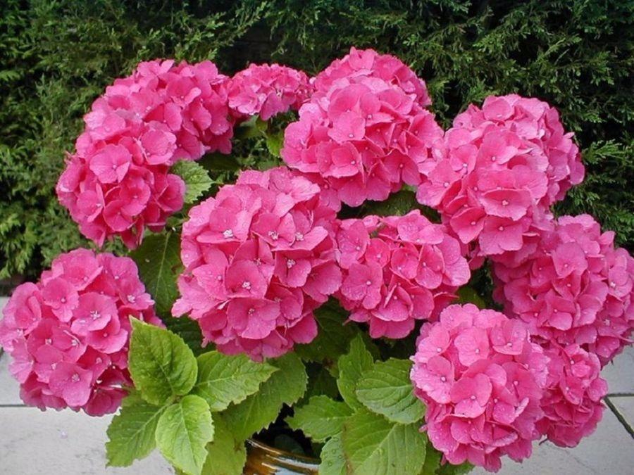 Planta Hortensia Jardin Flor Tierra Maceta 29000 En Mercado Libre - Plantas-de-jardin-con-flores