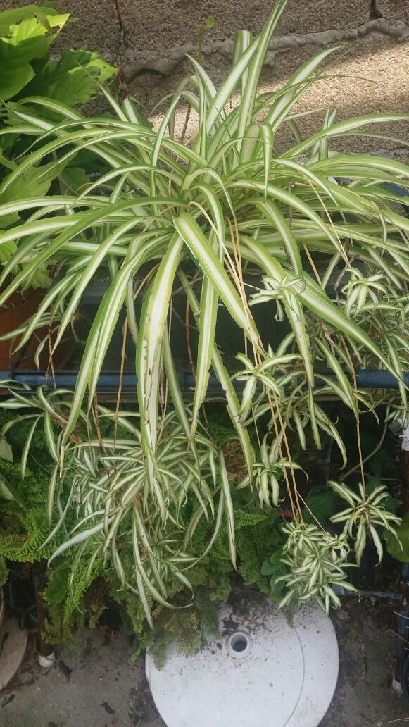 planta ornamental mala madre chlorophytum asparagaceae