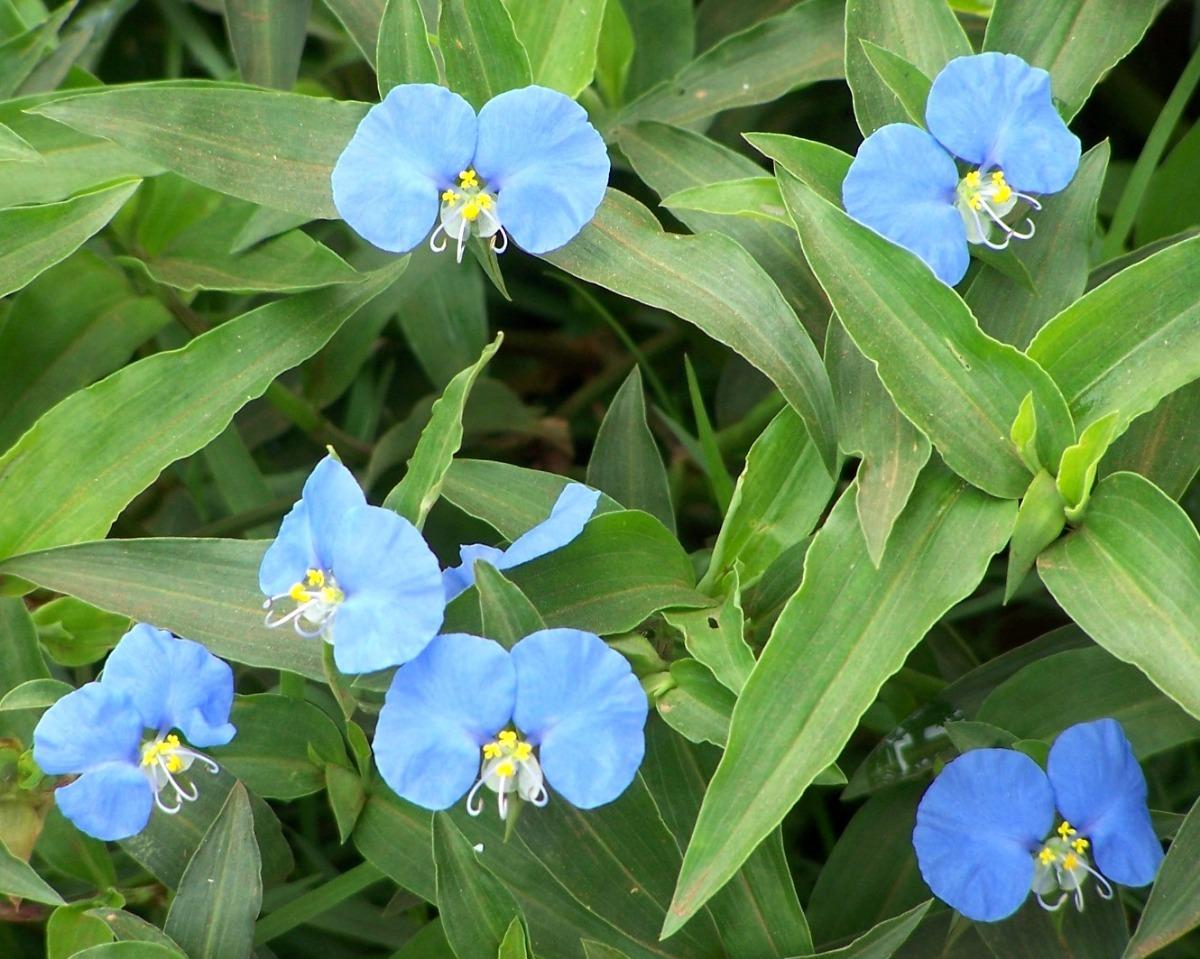 planta medicinal ojos colirio santa lucia azul 45 00 en