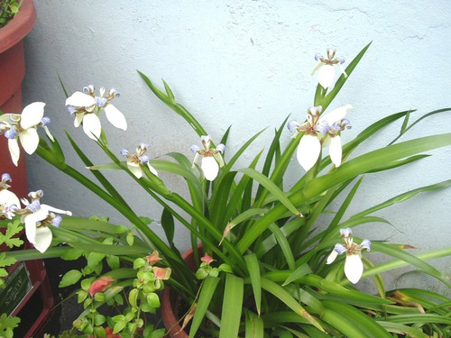 planta neomarica cándida/ iris caminante/ falsa orquidea.