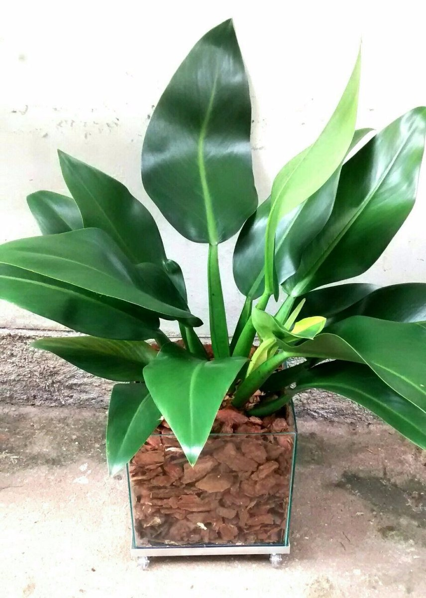 Planta pacov natural vaso de vidro 30 x 30 cm r 236 60 for Lista de plantas de sombra