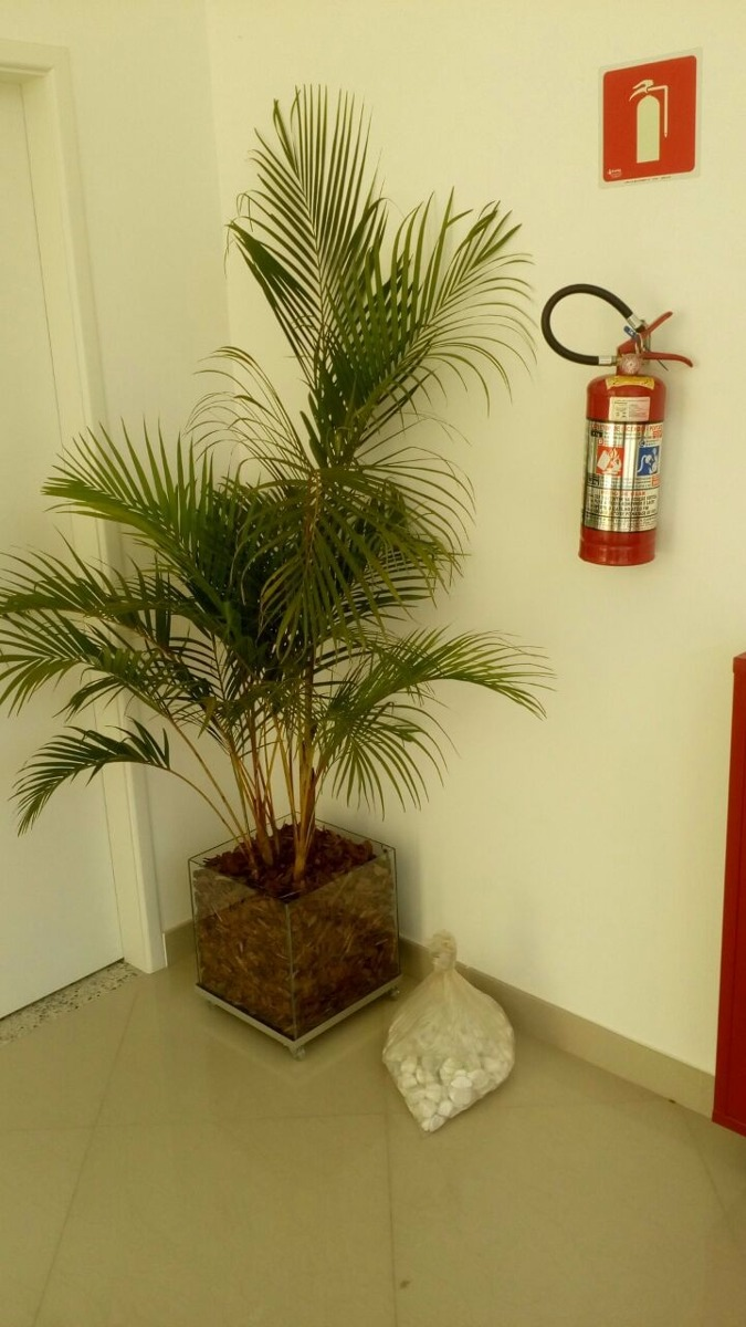 Planta palmeira areca bamb vaso de vidro 35x35x35 cm r for Bambu in vaso prezzo