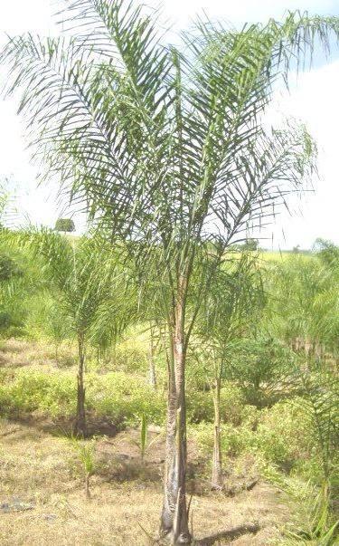 planta palmera pindo exterior maceta tierra jardin syagrus - $ 790