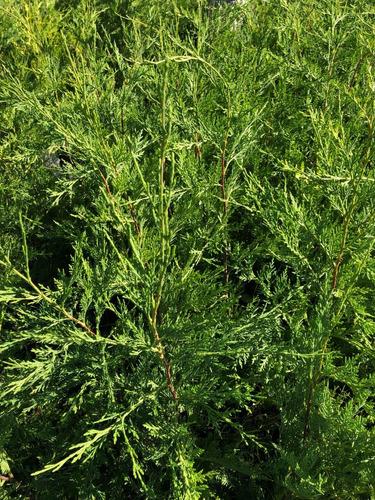 planta para cerco vivo envasadas cipres leyandi