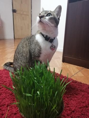 planta para gatos, hierba gatera