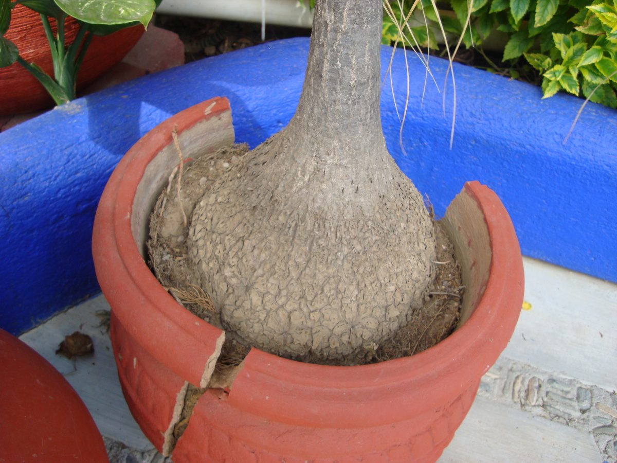 Planta pata de elefante 2 en mercado libre - Planta pata de elefante ...