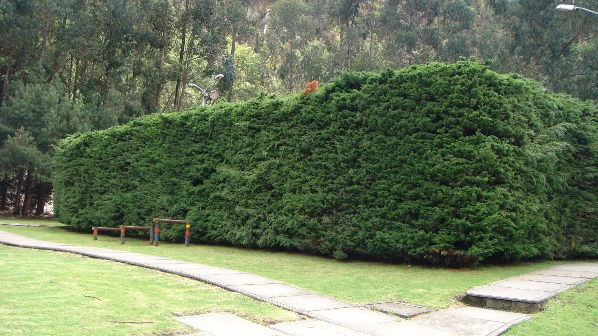Planta pino cipres ideal cercos vivos casas jardin macetas for Pinos para jardin
