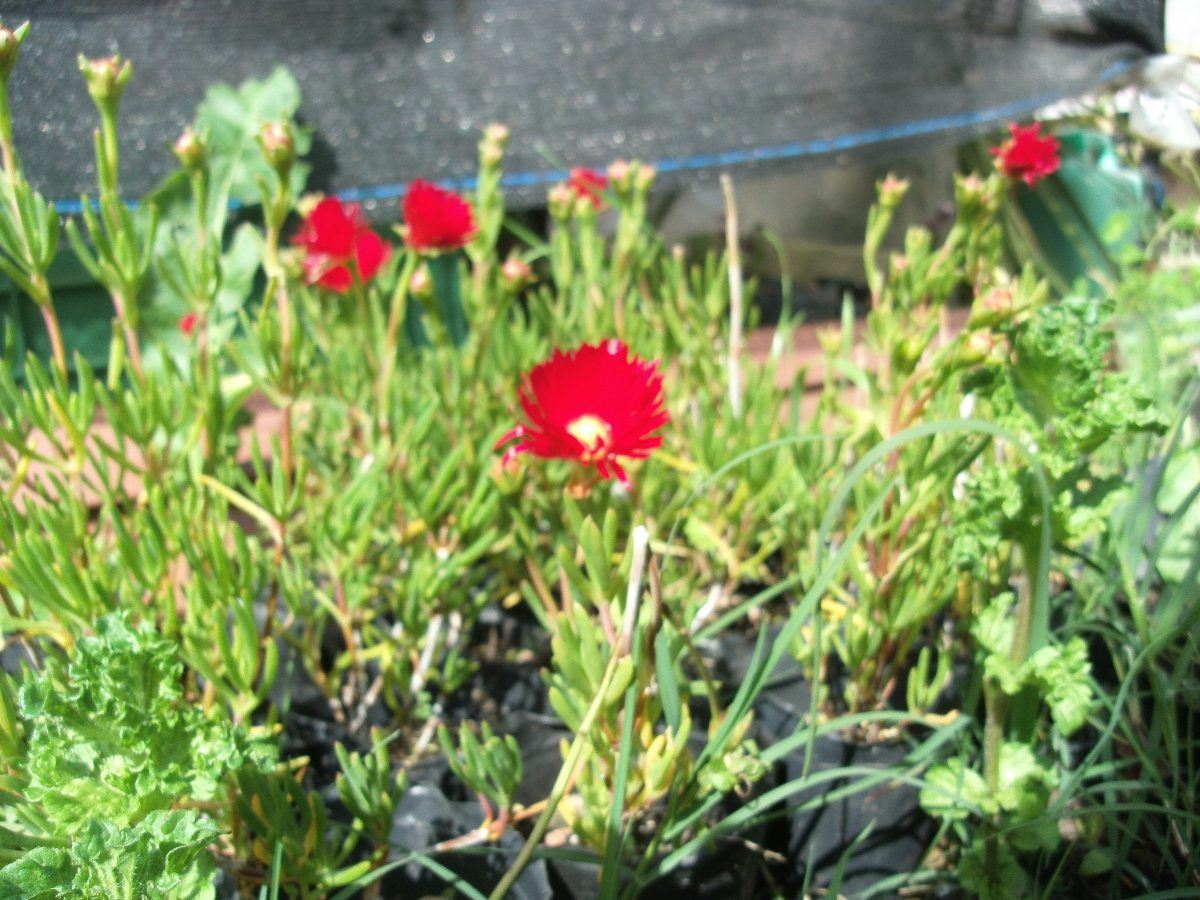 Planta rayito de sol rayo de sol 30 00 en mercado libre - Plantas para jardineras al sol ...