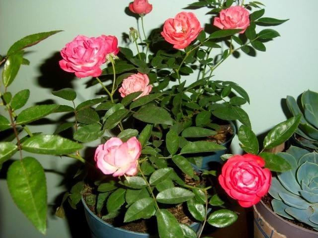 Planta rosa bebe y repolla o rosa vegetal bs for Pianta rosa