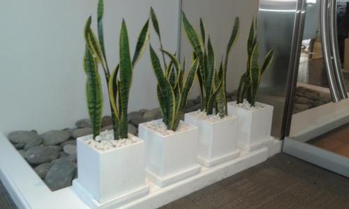 planta sansevieria espada de san jorge lengua de suegra