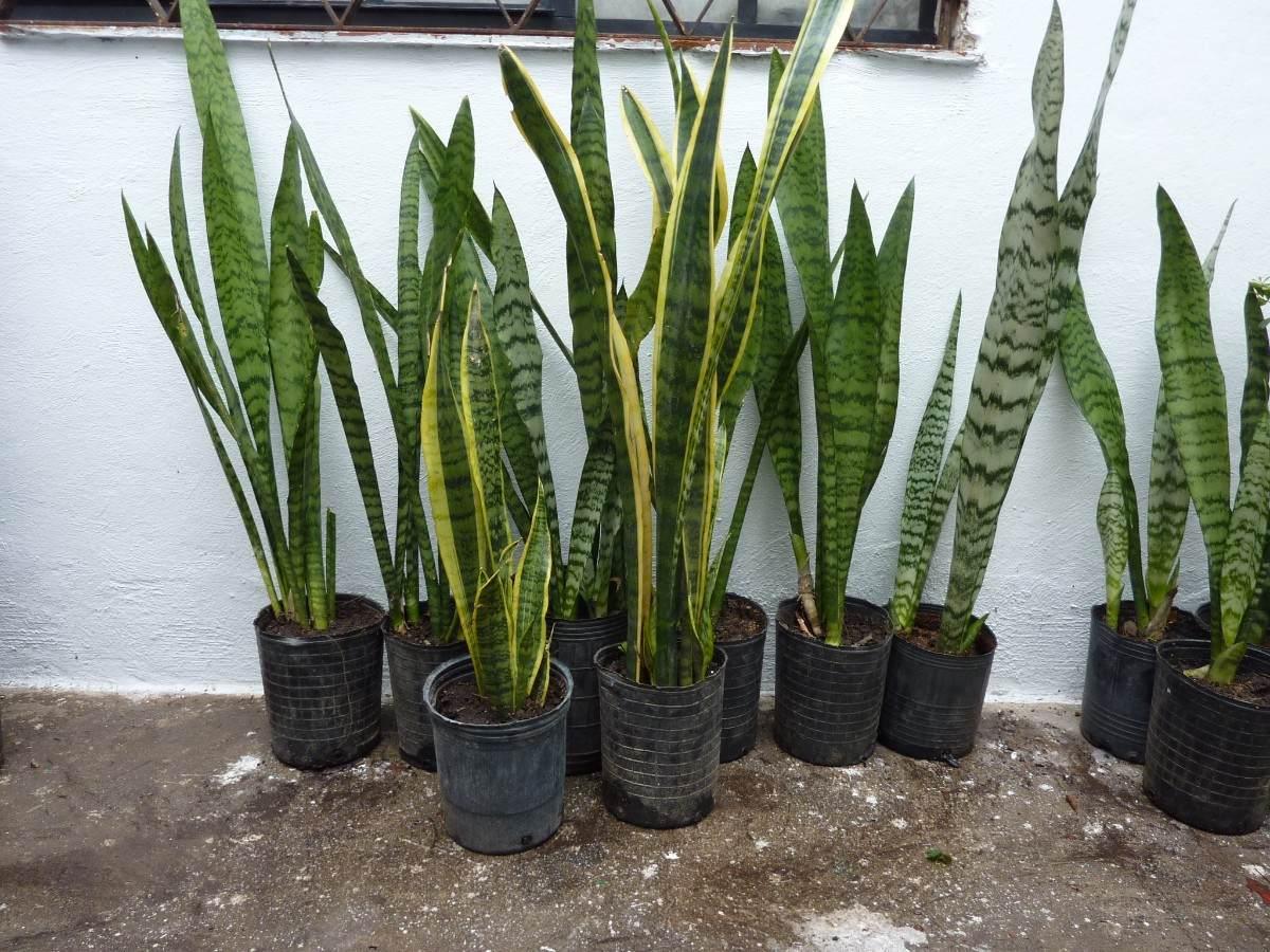 Planta Sansevieria Solo Verde Espada Jardin Deco 15900 En