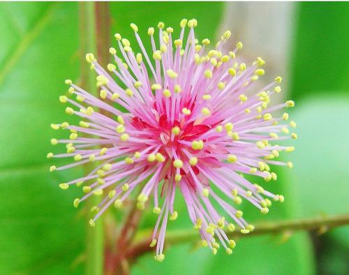 planta sensitiva, planta dormideira - 15 sementes
