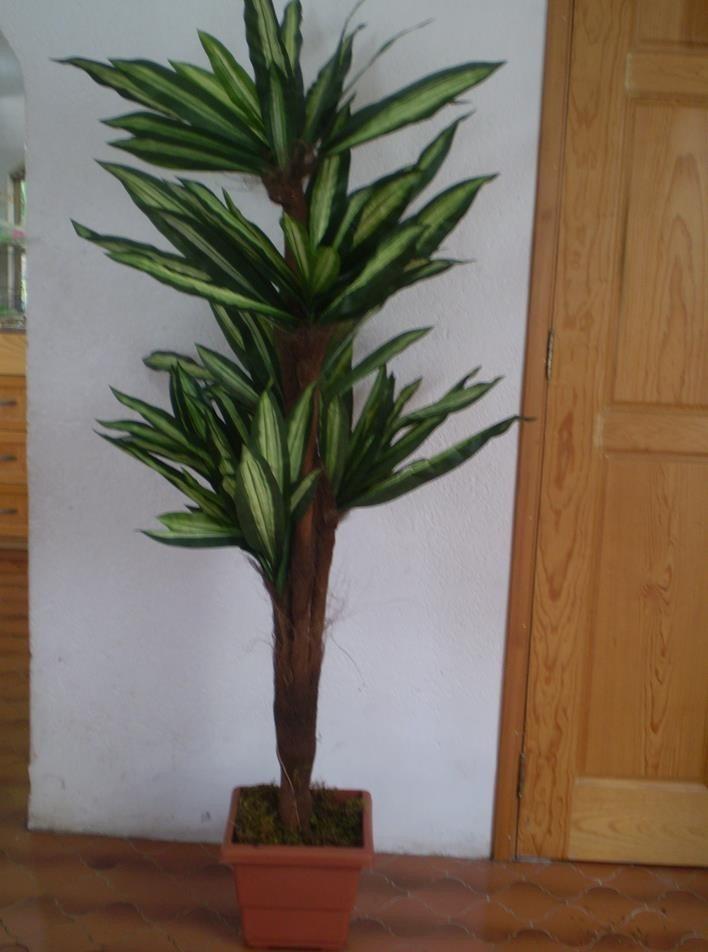 Planta yuca maa 3 en mercado libre for Planta yuca exterior