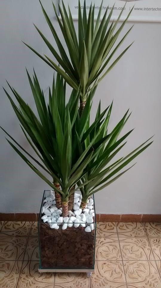 Planta yucca cachepot de vidro 30x30x30 cm r 229 85 em for Yuca planta de exterior