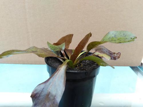 plantas acuaticas. amazona ocelot red