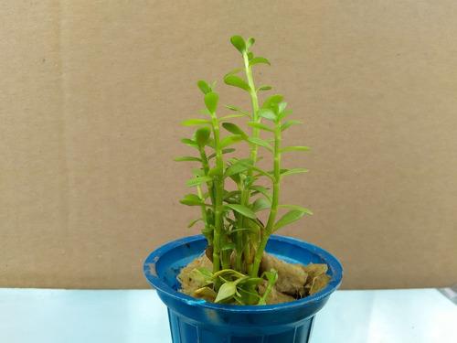 plantas acuaticas. bacopa monieri