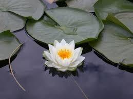 plantas acuáticas  lotos colores