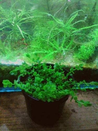 plantas acuaticas para acuario