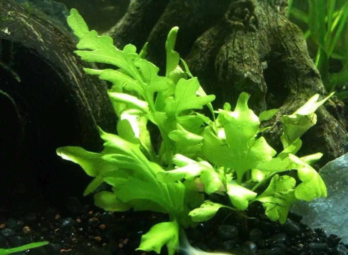 Plantas acu ticas para acuario helecho sumatra s 3 00 for Plantas de acuario