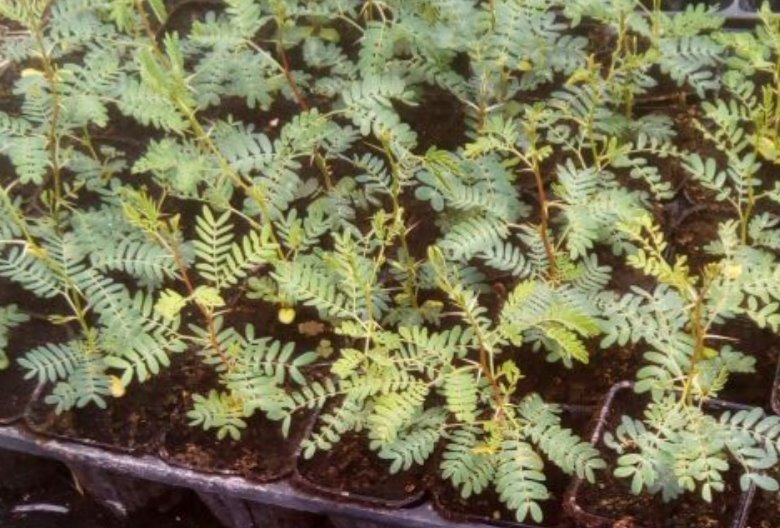 Plantas Almácigo De Espino Acacia Capensis Para Cerco Verde