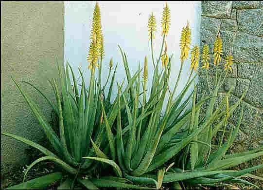 Plantas Aloe Vera El Verdadero Medicinal De Flor Amarilla