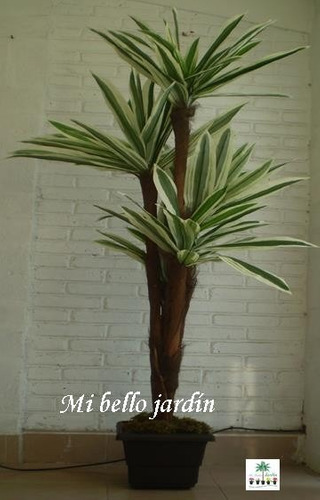 Plantas arboles yuca maa 2 en mercado libre for Planta yuca exterior