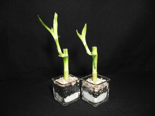 plantas bambu lucky, recuerdo matrimonio, bautizos, eventos.
