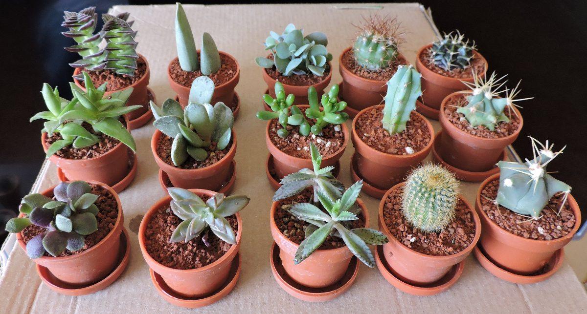 Plantas miniatura cactus suculentas mejor calidad y for Tipos de cactus