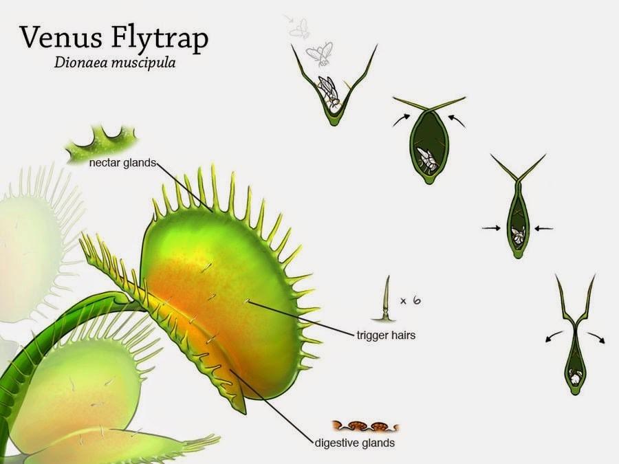 Venus Flytrap Diagram on