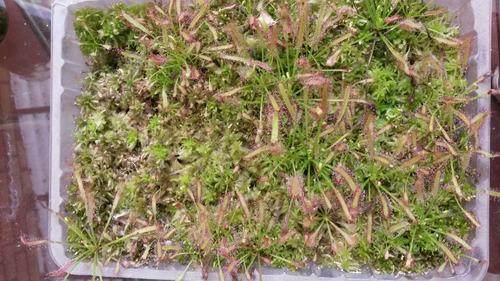 plantas carnívoras ( drosera capensis)