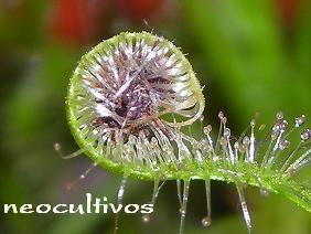 plantas carnivoras - nueva mascota - mira video !!! droseras
