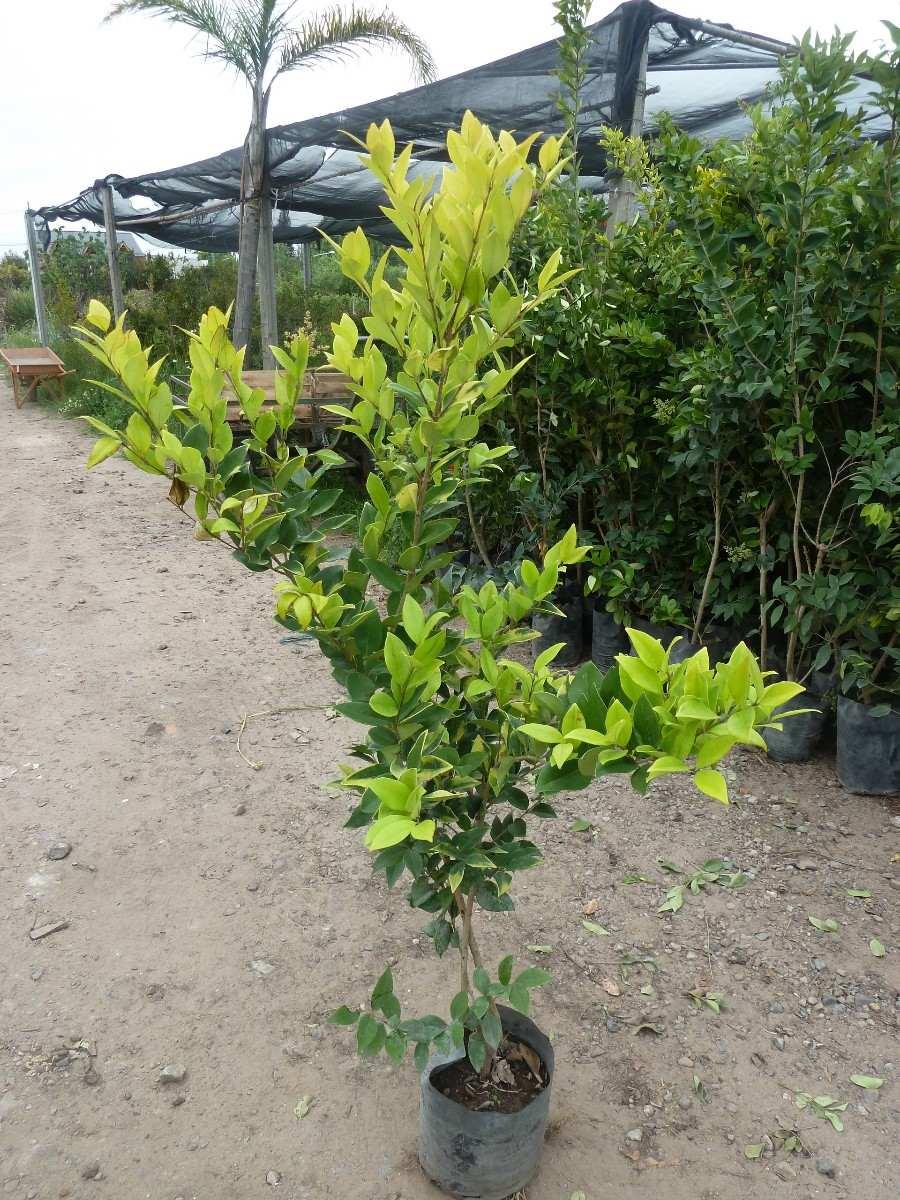 Plantas cerco vivo oleo texano excelentes plantas pleno - Plantas para pleno sol ...