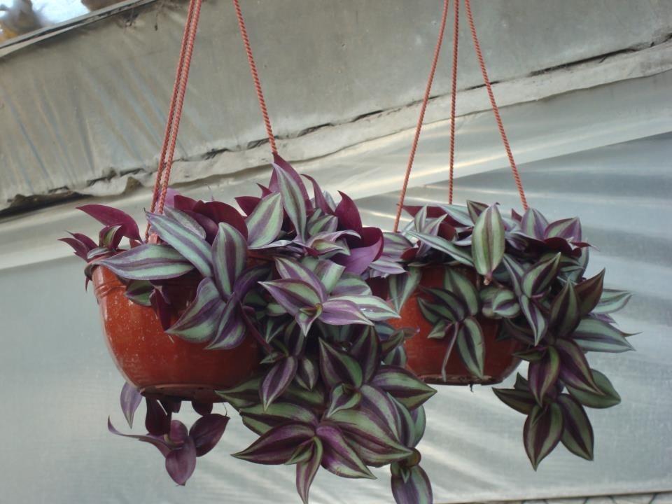 cargando zoom - Plantas Colgantes
