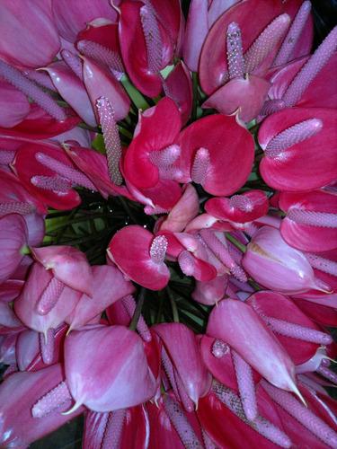 Plantas de anturios rosa fuerte en mercado libre for Jardines de anturios