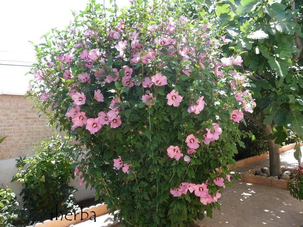 Plantas de hibiscos o rosas de siria ideal casa jardin for Plantas para jardin de casa