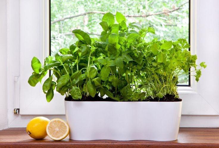 Plantas de hierbas aromaticas ideal macetas cocinas o for Macetas para interiores hogar