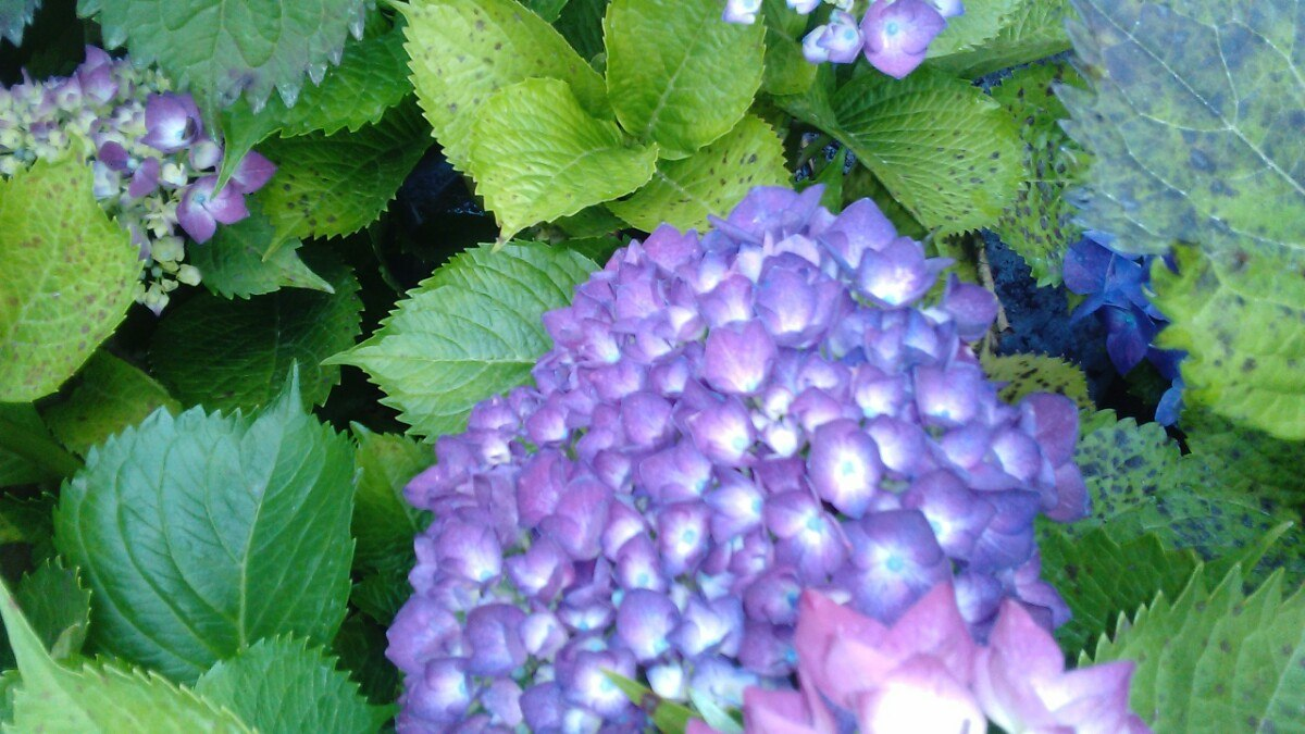 Plantas de hortensias s 27 00 en mercado libre - Semillas de hortensias ...