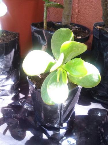 plantas de jade y sabila
