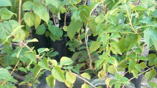 plantas de lantana