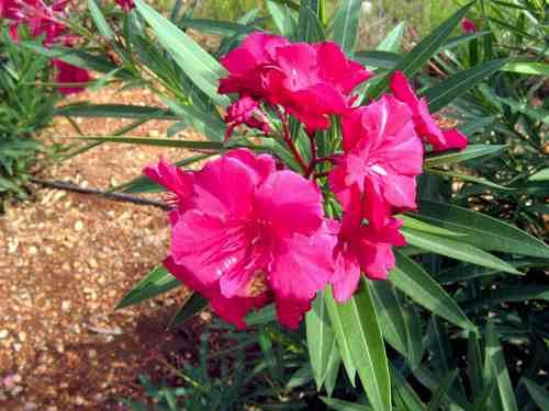 plantas de laurel de jardín